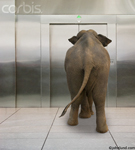 Funny pictures of an elephant waiting for an elevator in an office building. This elephant is on his way up! Stainless steel elevator doors.