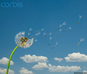 Pictures of  dandelion seeds blowing in the wind on a warm spring day spreading wishes across the countryside. Dandelions symbolize wishes coming true.