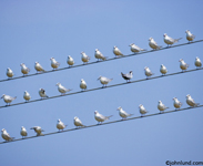Pictures of a flock  of birds sitting on a wire: one facing away.  Three wires, one above the other, and every wire covered with birds.