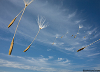 Dandelion seeds blow through the summer sky. Hundreds of dandelion seeds fill the wispy cloud filled blue sky.