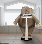 Fat elephant contemplating her weight on a medical scale in a bathroom. Funny picture of an over wieght elephant weighing herself.
