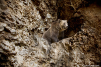 Picture of a brown bear in front of a cave on the side of a rocky cliff. The bear is awakening from his winter hibernation and will be looking for food shortly.