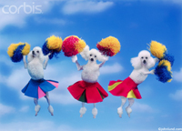 Funny Picture of cheerleading poodles showing three miniature poodles jumping into the air in cheer leader costumes and waving pom poms.