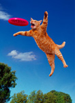 A cat leaps into the air to catch a frisbee in his mouth in a photo that mimicks what one might find a dog doing. PIcture of a cat playing frisbee.