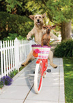 Funny animal picture and stock photo of two dogs rriding on a bicycle on the side walk along side a white picket fence.