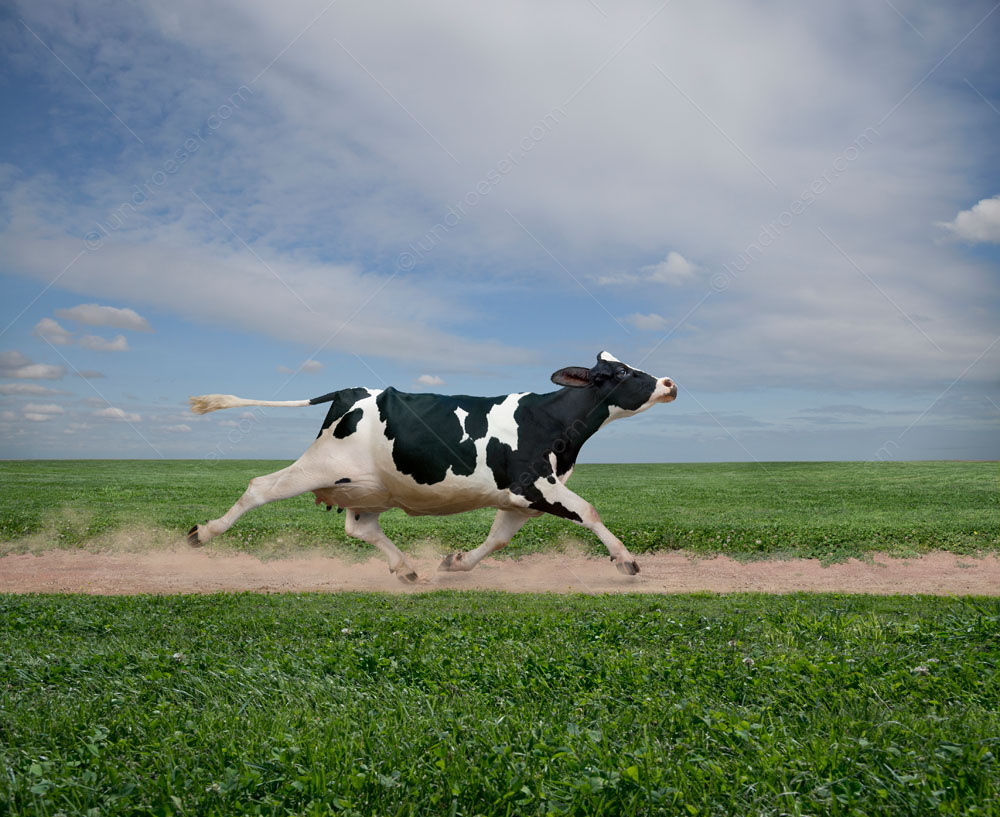 A Holstein cow runs purposefully down a dirt path in a green pasture, her hooves kicking up little puffs of dirt, on a pleasant summer day. This is an image of a cow coming home.
