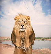A shocked lion shows concern holding  his face in his hands in this funny greeting card image and stock photo.