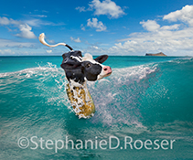 A funny Holstein cow rides a tropical wave on a golden surfboard off the coast of Hawaii in this amazing image created for greeting cards and stock photo uses.