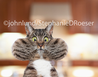 Hilarious tabby with huge bulging cheeks stares with wide-eyed wonder into the camera in a funny cat photo.