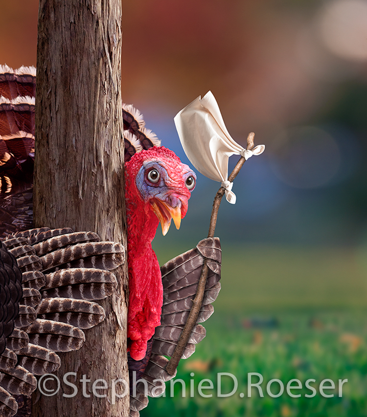 A thanksgiving turkey peeks around a tree and holds up a white flag in a funny picture created for use on greeting cards and in advertisements.