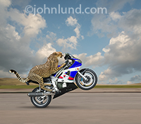 A Cheetah pops a wheelie on a motorcycle in metaphorical photo illustrating the concepts of fast starts, speed and daring skills.