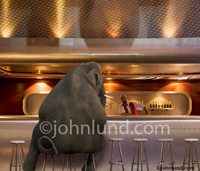 Funny elephant picture and stock photo of an elephant sitting at a bar talking to the bartender. The elephant needs more than one stool to be seated.