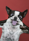 In this funny dog photo a Boston Terrier uses his paws to stretch his mouth and make funny faces at the camera.