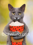 Funny cat picture and stock photo of a cute grey cat, holding a latte, and with foam on his face. His arms are wrapped around the large paper latte cup and he won't let go.