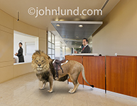 Photo of a lion, wearing a saddle, standing expectantly in a corporate reception area and indicating an impending business challenge.