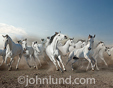 A herd of stampeding white horses charge towards the camera in a dramatic image of speed, power, freedom and countless other concepts.