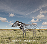 A zebra fades away on a grassy plain in a concept photo about vanishing species, exctinction and environmental issues.