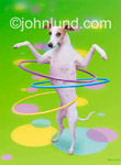 Funny animal picture and stock photo of a Whippet playing with Hula Hoops, keeping three hoops up at once...talented dog!