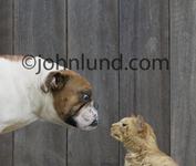 A bulldog stands face to face in a standoff with an angry cat (not giving an inch)  in a funny animal antics picture.