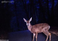 A deer caught in the headlights is the concept illustrated by this picture. A large deer crossing the road is illuminated by a cars headlights. The dear is looking right at the driver. Startled deer pics for ads.