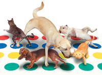 Funny animal pictures and stock photo of pets, cats and dogs, playing twister including a golden lab and a daschund.
